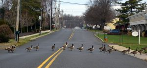 geese crossing the street just like you will be after moving here with Little Silver movers