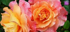 seeing roses will be common after using Roseland movers