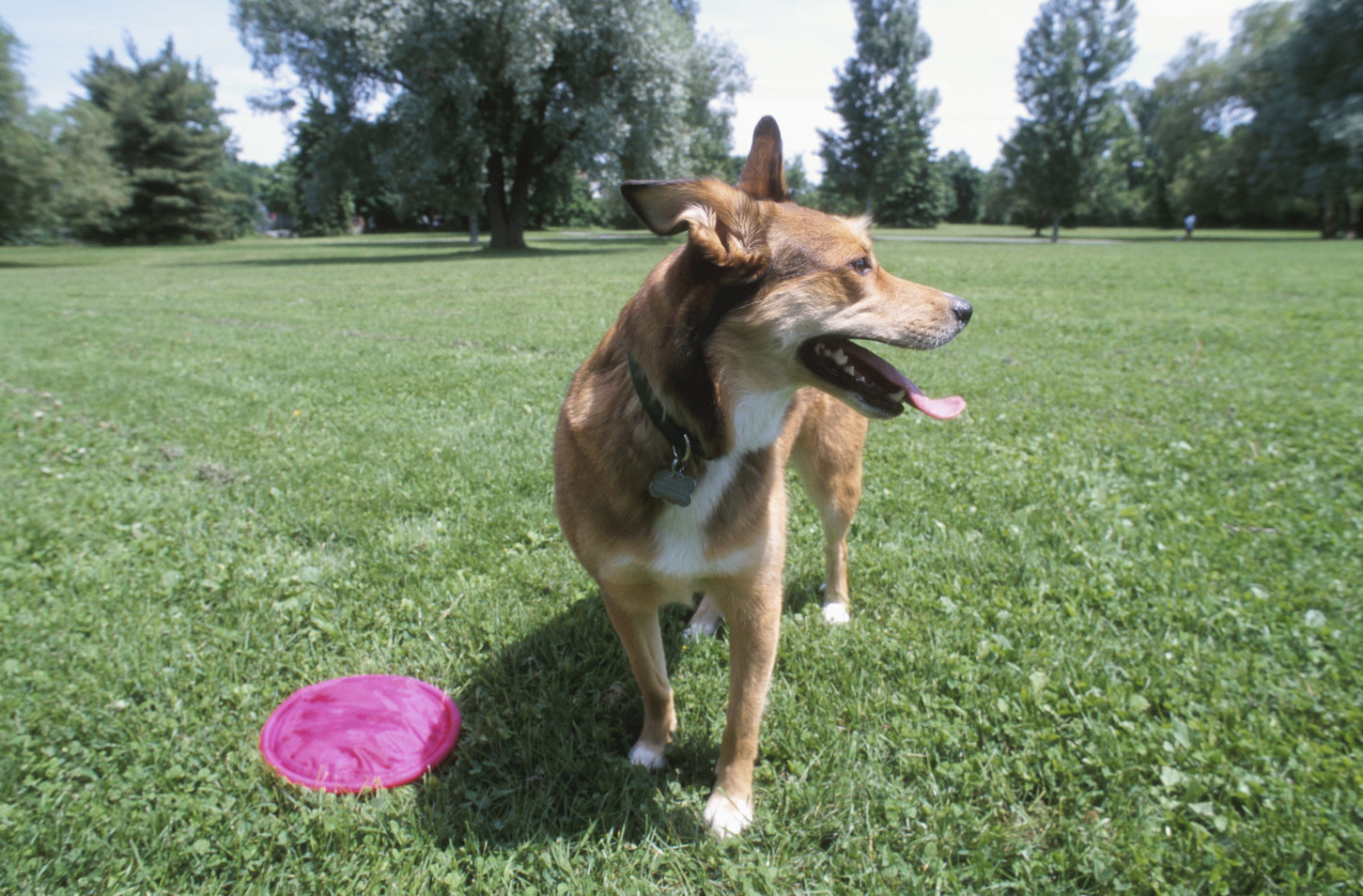 dog in a park with a frisbee