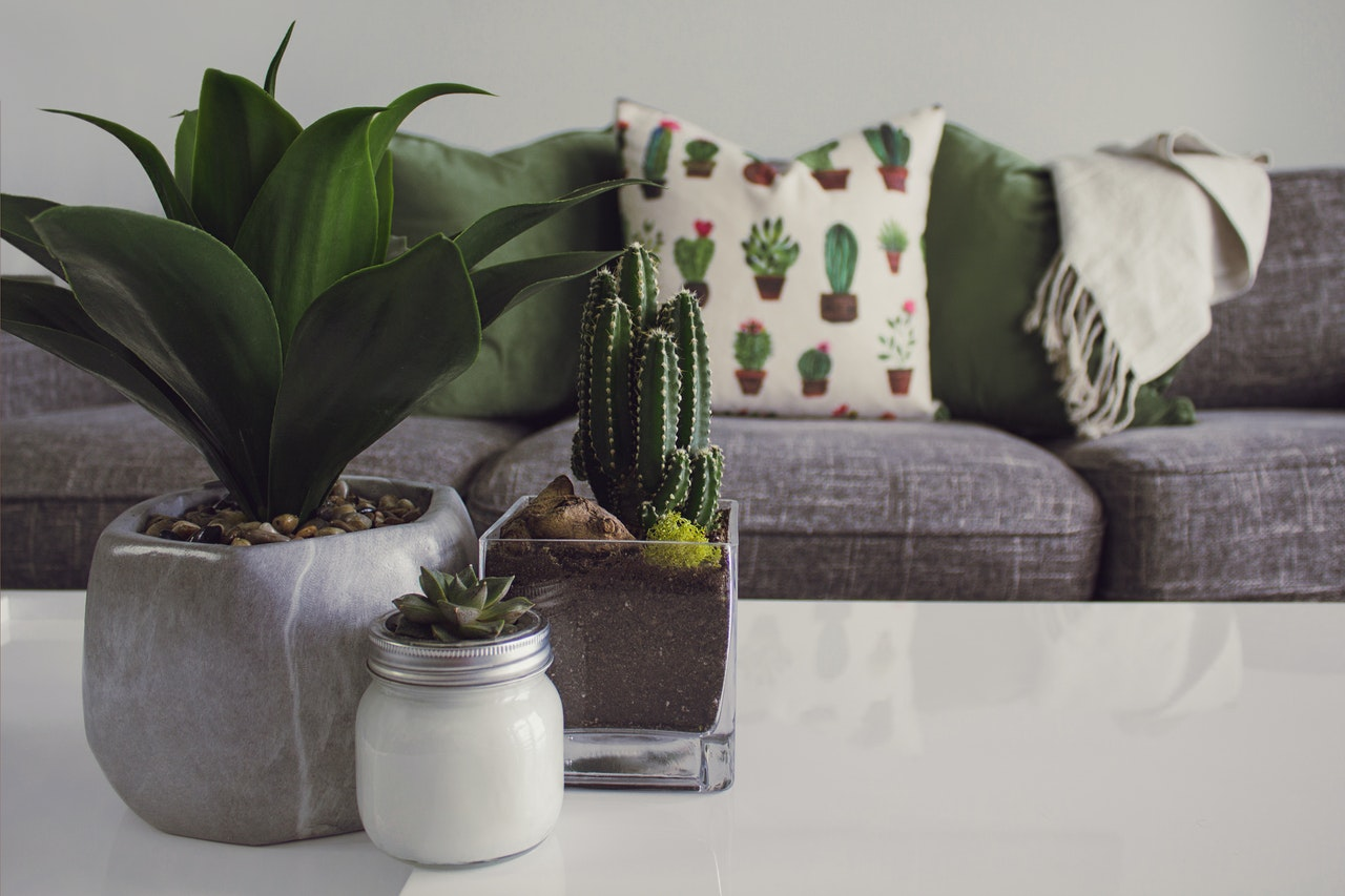 cacti on a table
